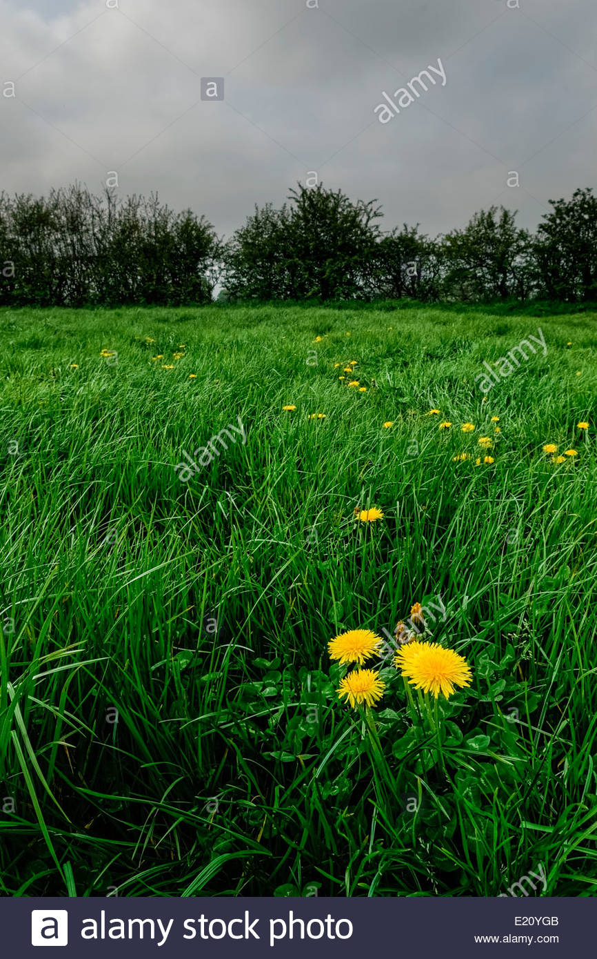 Dandelions in grassy field hedgerow in background against grey dandelions in grassy field hedgerow in background against grey cloudy e20ygb voltagebd Images